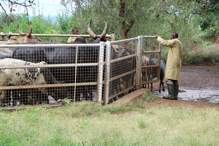 Members of the CAHW release recently dipped cattle from the drying pen